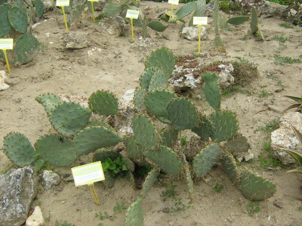 Редки кактуси - Ботаническа градина Балчик