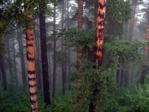 Вековни борови гори - местността Гьолечица
