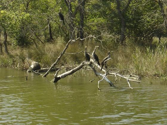 kорморани край брега на реката