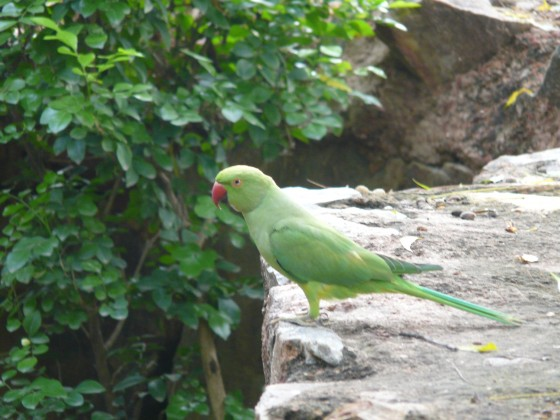 Зелените папагали и катеричките са в изобилие в градината...
