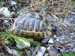 Хълмовете на Никопол - костенурка