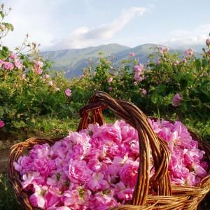 Рози в Казанлък
