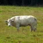 Белгийска кравичка